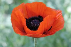 Red Poppies, Sunflowers, Papaver Orientale, Poppy Drawing, School Pictures, Drawings, Artwork, Plants, Inspiration