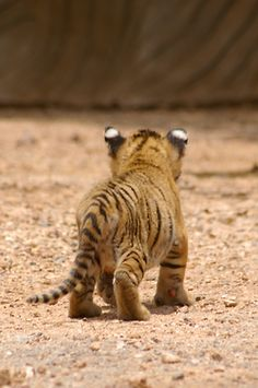 """I'm walking away now!"" says the Baby Tiger."