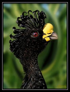 Pavon Nordeño or Great Curassow, is indigenus to the South American countries of Costa Rica, Guatemala, Columbia and Honduras. The females have 3 different morphs (appearances), while the males are black with a curly crest, a white belly, and a yellow knob on its bill. This bird's call is a long whistle that slowly fades. They are threatened by habitat loss.