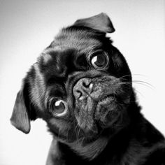 just like how is this not the cutest thing you've ever seen? all i want is a black pug!