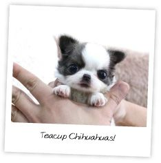http://www.welovechihuahuas.com/wp-content/uploads/2011/11/teacup-chihuahuas.jpg