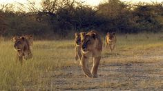 """Watch """"Lions in Battle"""" Travel to southern Africa to follow a pride of lions as they struggle for survival against combative prey and unforgiving surroundings.  More @ YouTube.com/SmithsonianChannel Movies To Watch Now, Lion Pride, Teaching Biology, Medical Science, Color Of Life, Big Cats, Dessert Ideas, Ecology"""