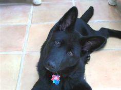 Solid black GSD - Black German Shepherds - Black German Shepherd Dogs