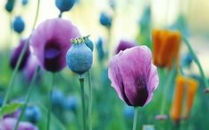 image of orange and purple poppies against green background
