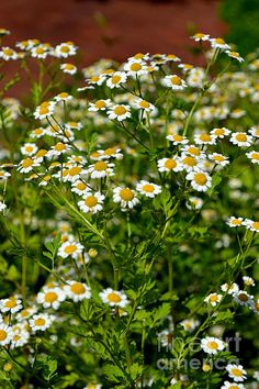 Chamomile Herb, I want to lern how to use this too!! My lil girl has allergic reactions to things in the air sometimes it weird and the Dr. cant help us so I want to make stuff with this in it for her.