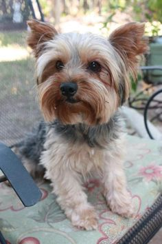 Rex is an adoptable Yorkshire Terrier Yorkie Dog in League City, TX Adoption Fee:  $300Fostered in TexasAge: 6 yearsWeight:  7 lbs.6/6/15 - Rex is now all fix ... ...Read more about me on @petfinder.com