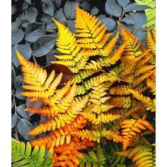 PN1794 Pflanzen - Stauden - Ziergräser & Farne - Schmuck-Farn 'Golden Brilliant',1 Pflanze