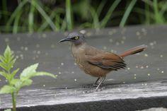 6838. Brown Trembler (Cinclocerthia ruficauda) | Lesser Antilles