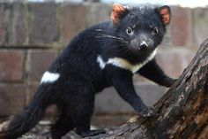 The Tasmanian devil is mostly a scavenger that feeds on dead animals. There are no hyenas in Tasmania or anywhere else in Australia for that matter and the devils have taken on their role.
