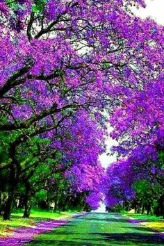 Árboles de Jacarandá
