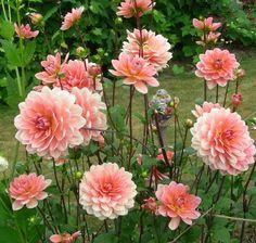 Peach waterlily dahlia finial stake