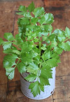 Regrow Celery - Growing Celery Indoors or Outdoors from the celery you have in…