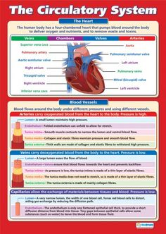 From our Science A-level poster range, the The Circulatory System Poster is a great educational resource that helps improve understanding and reinforce learning. Gcse Biology Revision, Science Revision, Gcse Science, Science Biology, Science Education, Physical Education, Gcse Pe, Study Biology, Human Body Anatomy