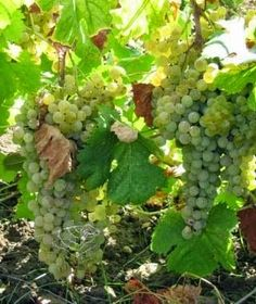 Growing Grapes - If you follow some simple rules then there is no reason why you can't have success at growing grapes.