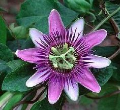 My absolute favorite flower!!!  Passiflora incarnata.  I keep checking the garden centers for some new plants.