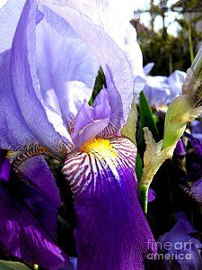 German Iris Greeting Card for Sale by Erika H. Our premium-stock greeting cards are x in size and can be personalized with a custom message on the inside of the card. All cards are available for worldwide shipping and include a money-back guarantee.