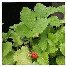 Morangueiro: Fragaria sp. | Cantinho das Aromáticas