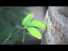 The Moving Plant: Mimosa Pudica - YouTube