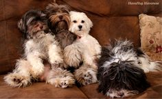 Dogs are said to be some of the best pets to keep. As a matter of fact, they are referred to as man's best friends. There are many breeds of dogs Cute Dogs Breeds, Best Dog Breeds, Best Dogs, Havanese Puppies, Cute Puppies, Dogs And Puppies, Doggies, Companion Dog, Little Dogs