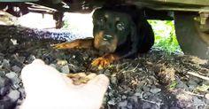 Good Samaritan Rescues Frightened Rottweiler via LittleThings.com