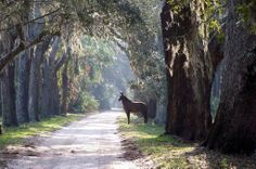 Live Oaks, Spanish Moss and the Horses on Cumberland Island