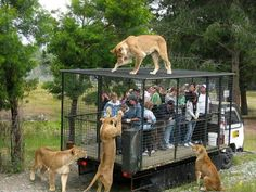 Lions want people. What do they think? It's lunch? hahaha