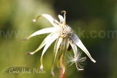 Dandelion_MG_6507