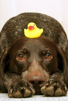 GSP and rubber ducky---patient pup