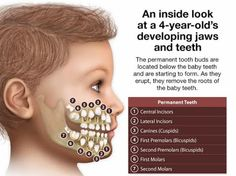 An inside look at a 4-year old's developing jaws and teeth. The permanent tooth buds are located below the baby teeth and are starting to form. As they remove the roots of the baby teeth.