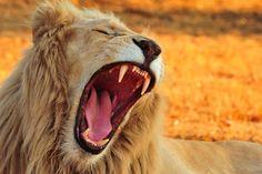 Beast, roar, lion, animal, muzzle wallpaper