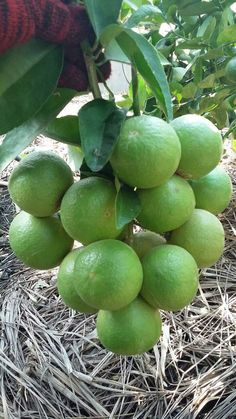 Fruit Plants, Fruit Garden, Edible Garden, Fruit Trees, Green Fruit, Fruit And Veg, Fruits And Vegetables, Exotic Fruit, Tropical Fruits