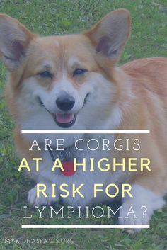 Are Corgis at a Higher Risk for Lymphoma? Unfortunately, it seems like more and more Corgis are diagnosed with lymphoma. Therefore, I would like to provide the Corgi community with some additional information.