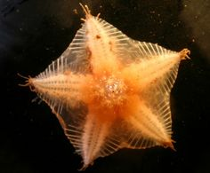 Starfish Have 40 Arms, and Other Facts About the Sea Creatures An Arctic sea star discovered on the floor of the deep sea.An Arctic sea star discovered on the floor of the deep sea. Deep Sea Animals, Deep Sea Creatures, Arctic Animals, Underwater Creatures, Underwater Life, Beneath The Sea, Under The Sea, Orcas, Sea Floor