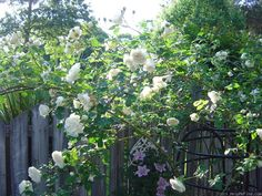 'Sombreuil ' Rose Photo