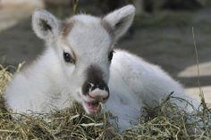 Kingdom Animalia, Baby Reindeer (by Josef Gelernter) Tiergarten Schönbrunn, Male Seahorse, Baby Animals, Cute Animals, Super Cute Puppies, Wild Hearts, Exotic Pets, Science Nature, Animals Beautiful
