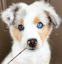 Awesome Pictures of Cute Funny Puppies that will make you Smile. Cute little Australian Shepherd Puppy picture. These are some awesome eyes! Cute little Australian Shepherd Puppy picture. These are some awesome eyes! Cute Little Puppies, Cute Dogs And Puppies, Baby Puppies, Funny Puppies, Puppies Tips, Corgi Puppies, Mastiff Puppies, Teacup Puppies, Australian Shepherd Puppies
