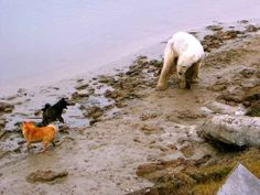 Karelian Bear Dog - 5b765e40ad07 - Molosser Dogs Gallery