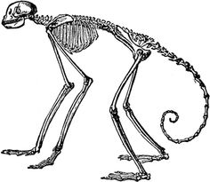 Side View of Skeleton of South American Spider Monkey