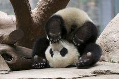 panda yoga fail.