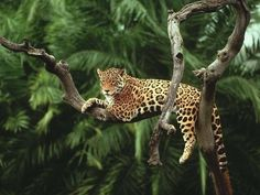 Jaguar - Panthers Onca-Central America and jungles of South America is in the endangered CITES list 2016 - too much poaching