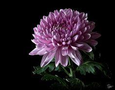 China Chrysanthemum Photograph by Endre Balogh