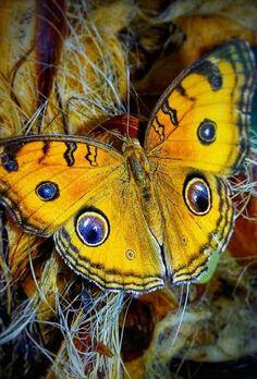 Beautiful Bugs, Beautiful Butterflies, Amazing Nature, Butterfly Kisses, Butterfly Wings, Beautiful Creatures, Animals Beautiful, Flying Flowers, Moth Caterpillar