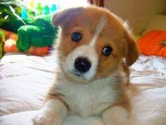 Corgi puppy by sally dickson