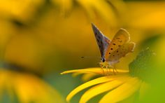 Yellow Butterfly Wallpapers Pics of yellowYellow Butterfly Blue Butterfly Wallpaper, Wallpaper Free Download, Cellphone Wallpaper, The Godfather, Great Pictures, Yellow Flowers, Pure Products, Animals, Beautiful