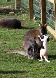 Wallaby joey and mom