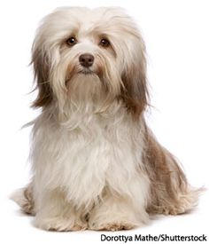 Visit Nylabone's Dog 101 section for photos and information on Havanese dogs.