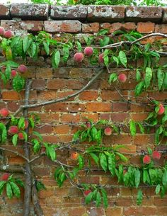 Espalier - A fruit bearing tree pruned to be flush with wall, can also be its own wall for shade and privacy