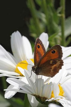 Gatekeeper Butterfly On Margeurite Flower