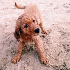 Cute Little Golden Retriever Puppy playing on the Sandy Beach