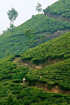 Munnar Tea Estates, Kerala